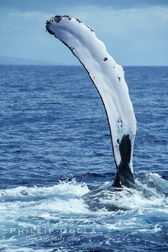 Humpback whale swimming with raised pectoral fin (ventral aspect). Maui, Hawaii, USA, Megaptera novaeangliae, natural history stock photograph, photo id 04135