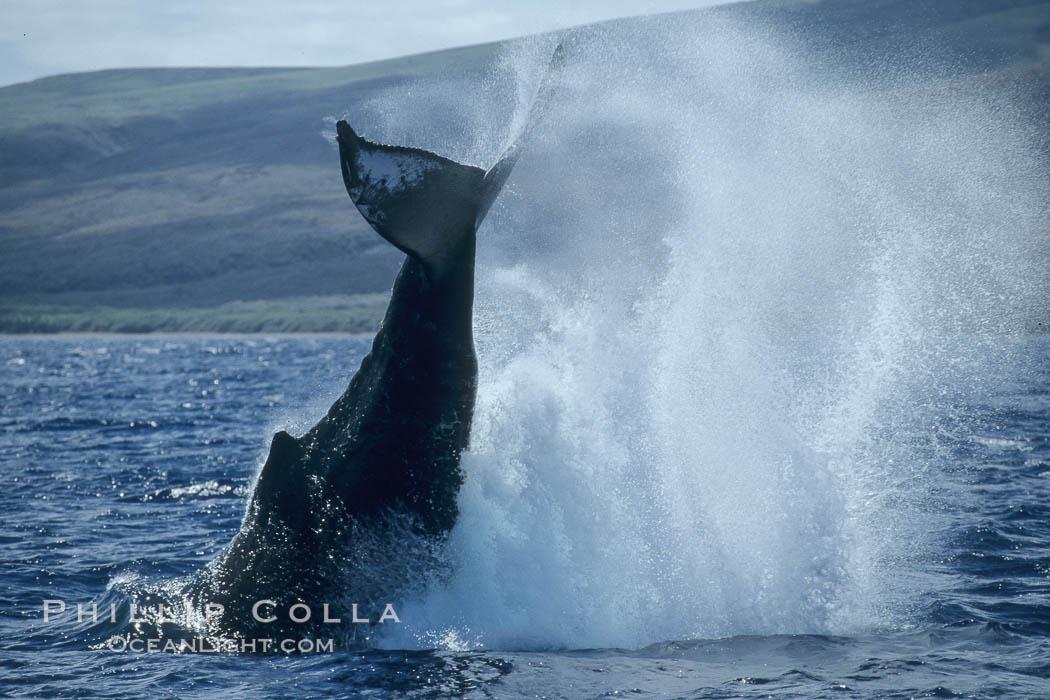 Humpback whale performing a peduncle throw. Lanai, Hawaii, USA, Megaptera novaeangliae, natural history stock photograph, photo id 03970