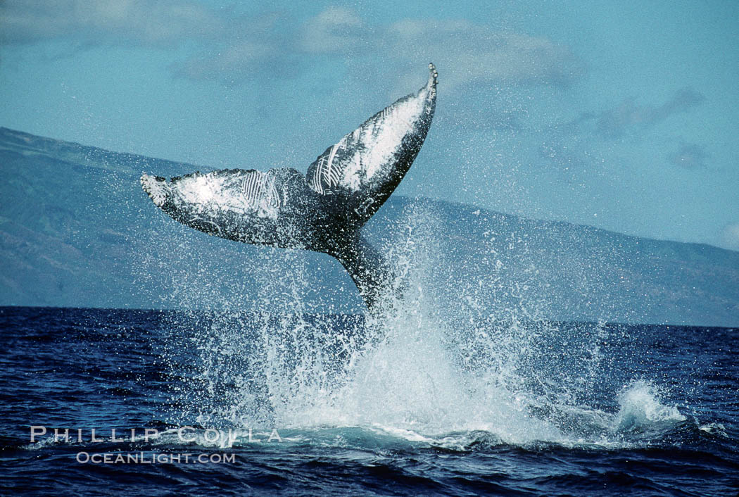 Image 00443, North Pacific humpback whale, peduncle throw. Maui, Hawaii, USA, Megaptera novaeangliae, Phillip Colla / HWRF, all rights reserved worldwide. Keywords: action, animal, balaenopteridae, behavior, cetacea, cetacean, creature, endangered, endangered threatened species, fluke, hawaii, hawaiian islands, hawaiian islands humpback whale national marine sanctuary, hump back whale, humpback, humpback whale, humpback whales, humpbacked whale, mammal, marine, marine mammal, maui, megaptera, megaptera novaeangliae, mysticete, mysticeti, national marine sanctuaries, nature, north pacific humpback whale, novaeangliae, ocean, oceans, pacific, peduncle, peduncle throw, research, rorqual, sea, tail, tail lob, tail lob peduncle throw, tail throw, threatened, usa, whale, whale behavior, wildlife.   NOTE:  This photograph was taken during Hawaii Whale Research Foundation research activities conducted under NOAA/NMFS and State of Hawaii permit. Its use is subject to certain restrictions. Please contact the photographer for more information.