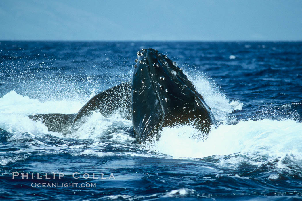 Humpback whale, challenger (rostrum) blocked by escort (peduncle). Maui, Hawaii, USA, Megaptera novaeangliae, natural history stock photograph, photo id 02027