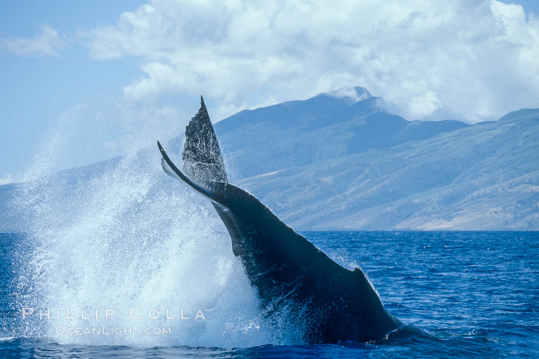 Humpback whale performing a peduncle throw. Molokai, Hawaii, USA, Megaptera novaeangliae, natural history stock photograph, photo id 03959