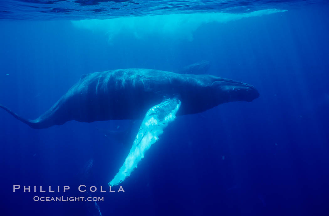 North Pacific humpback whale underwater. Maui, Hawaii, USA, natural history stock photograph, photo id 05996