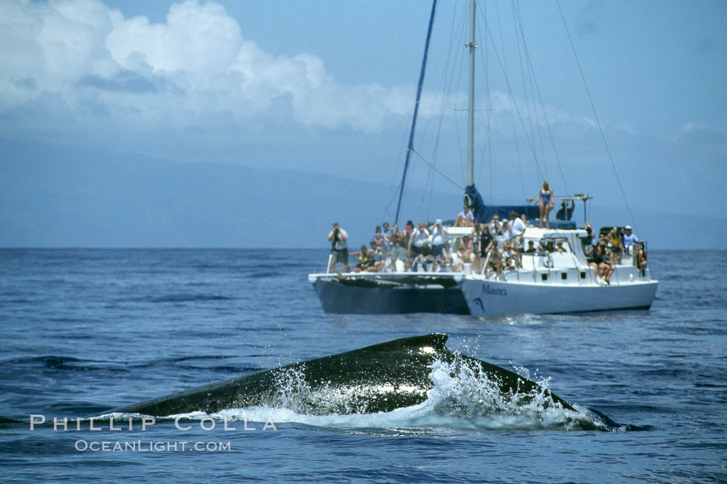 Humpback whale rounding out, whale watching boat. Maui, Hawaii, USA, Megaptera novaeangliae, natural history stock photograph, photo id 04362
