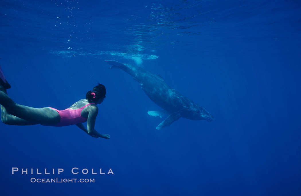 North Pacific humpback whale calf, Mikako Kotani. Maui, Hawaii, USA, Megaptera novaeangliae, natural history stock photograph, photo id 01208