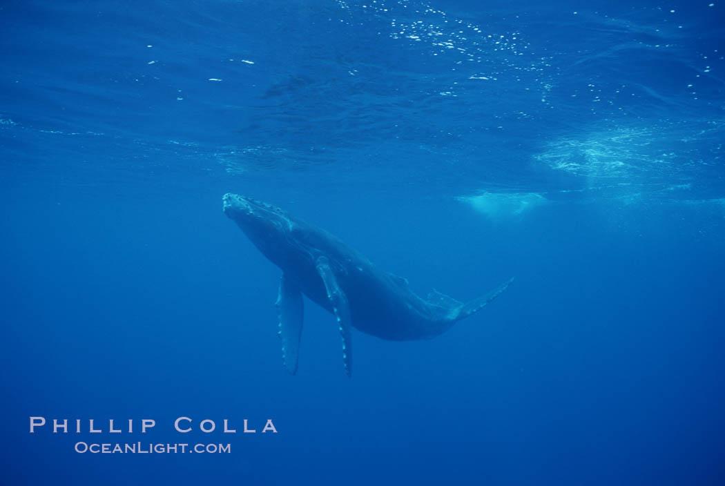 North Pacific humpback whale, calf. Maui, Hawaii, USA, Megaptera novaeangliae, natural history stock photograph, photo id 01309