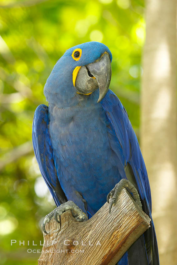 Hyacinth macaw., Anodorhynchus hyacinthinus, natural history stock photograph, photo id 12549