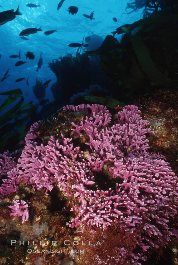 Hydrocoral on rocky reef. San Clemente Island, California, USA, Stylaster californicus, Allopora californica, natural history stock photograph, photo id 05288