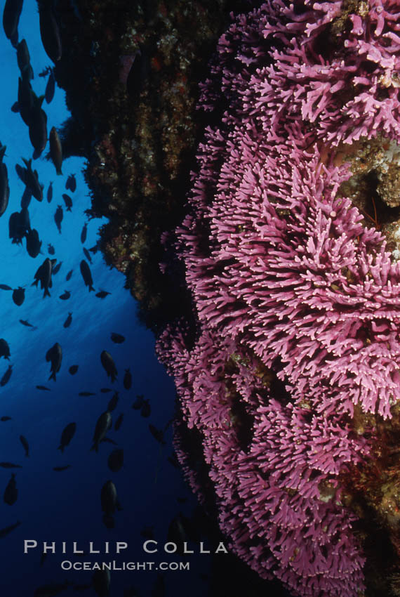 Hydrocoral on rocky reef. San Clemente Island, California, USA, Stylaster californicus, Allopora californica, natural history stock photograph, photo id 05289