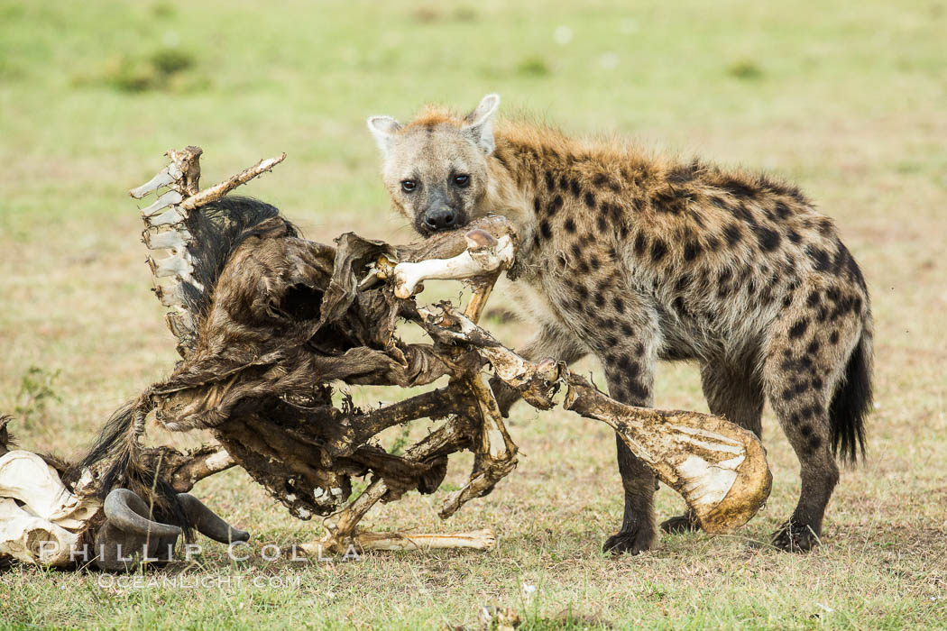 Hyena consuming wildebeest carcass, Kenya, They hyena has strong jaws that allow it to break carcass bones and eat the marrow within. Olare Orok Conservancy, Crocuta crocuta, natural history stock photograph, photo id 29996
