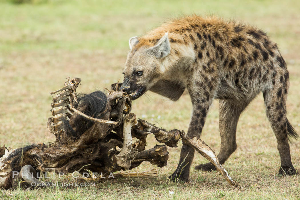 Hyena consuming wildebeest carcass, Kenya, They hyena has strong jaws that allow it to break carcass bones and eat the marrow within. Olare Orok Conservancy, Kenya, Crocuta crocuta, natural history stock photograph, photo id 29997