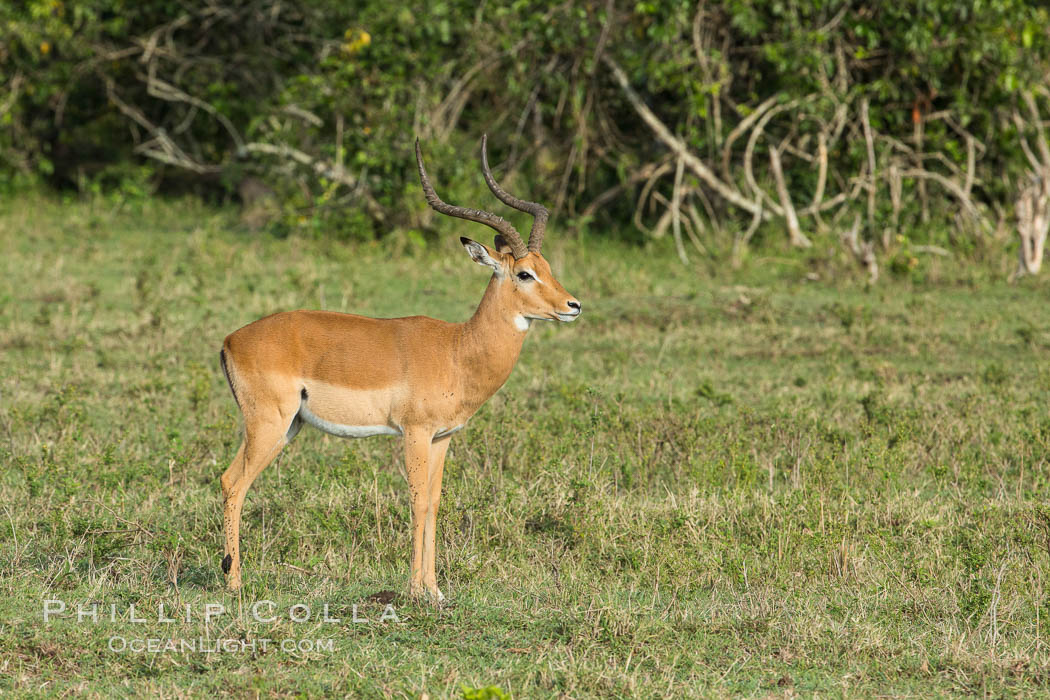 Impala, Maasai Mara, Kenya. Maasai Mara National Reserve, Kenya, Aepyceros melampus, natural history stock photograph, photo id 29955
