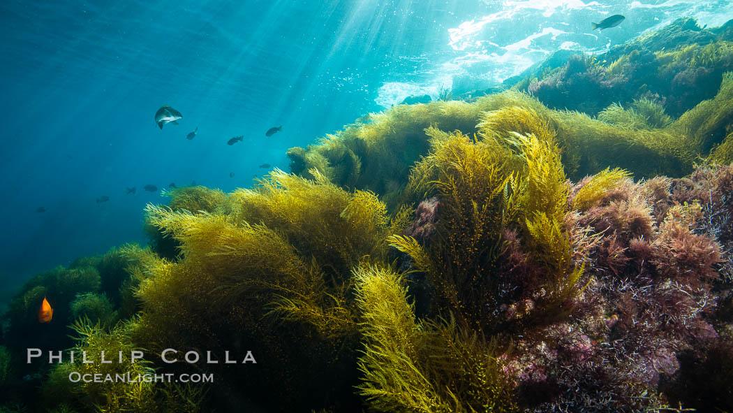 Image 34573, Invasive sargassum, Coronado Islands, Baja California, Mexico, Sargassum horneri, Phillip Colla, all rights reserved worldwide. Keywords: algae, baja, coronado islands, invasive, invasive sargassum, island, islas coronado, marine, marine algae, mexico, nature, ocean, pacific, pacific ocean, sargassum, sargassum horneri, underwater.