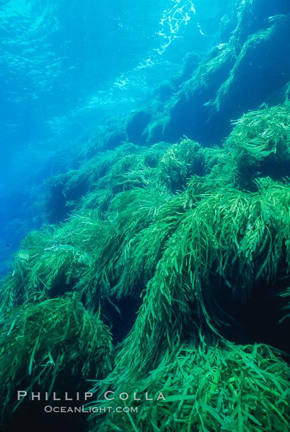 Kelp covered wall of Isla Afuera. Guadalupe Island (Isla Guadalupe), Baja California, Mexico, Eisenia arborea, natural history stock photograph, photo id 03725