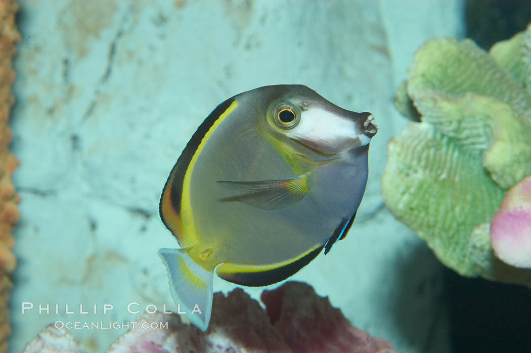Japan surgeonfish., Acanthurus japonicus, natural history stock photograph, photo id 07930