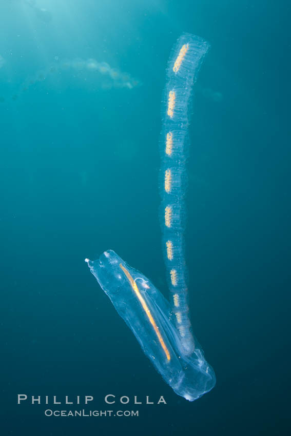 Pelagic tunicate reproduction, large single salp produces a chain of smaller salps as it reproduces while adrift on the open ocean. San Diego, California, USA, Cyclosalpa affinis, natural history stock photograph, photo id 26820
