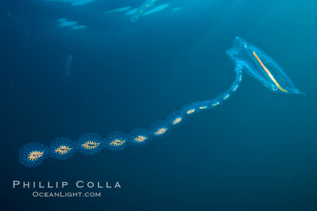 Pelagic tunicate reproduction, large single salp produces a chain of smaller salps as it reproduces while adrift on the open ocean. San Diego, California, USA, Cyclosalpa affinis, natural history stock photograph, photo id 26821