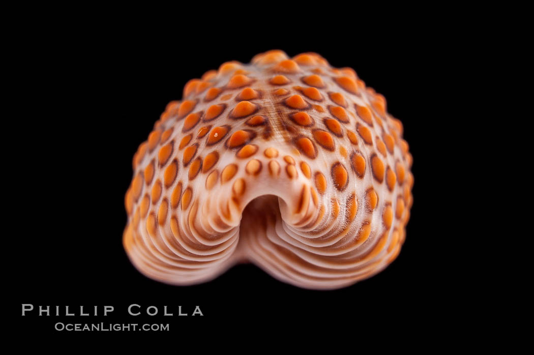 Jenner's cowrie., Jenneria pustulata, natural history stock photograph, photo id 08584