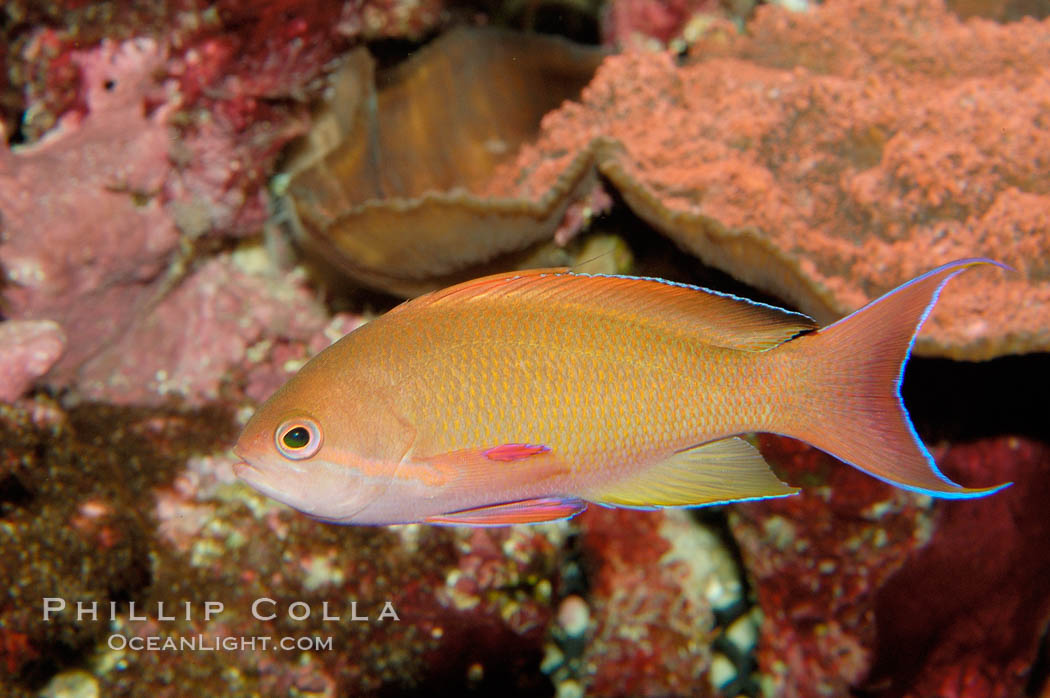 Lyretail fairy basslet., Pseudanthias squamipinnis, natural history stock photograph, photo id 09460