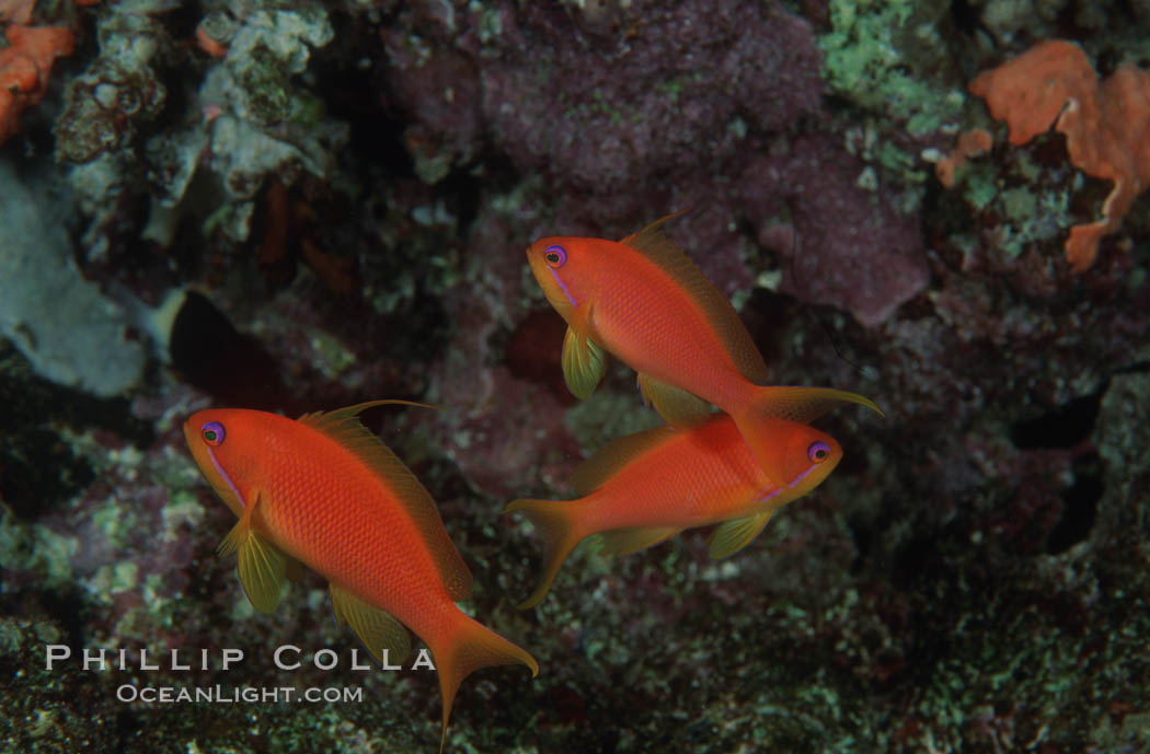 Jewel fairy basslet (female color form), also known as lyretail anthias. Egyptian Red Sea, Pseudanthias squamipinnis, natural history stock photograph, photo id 05227