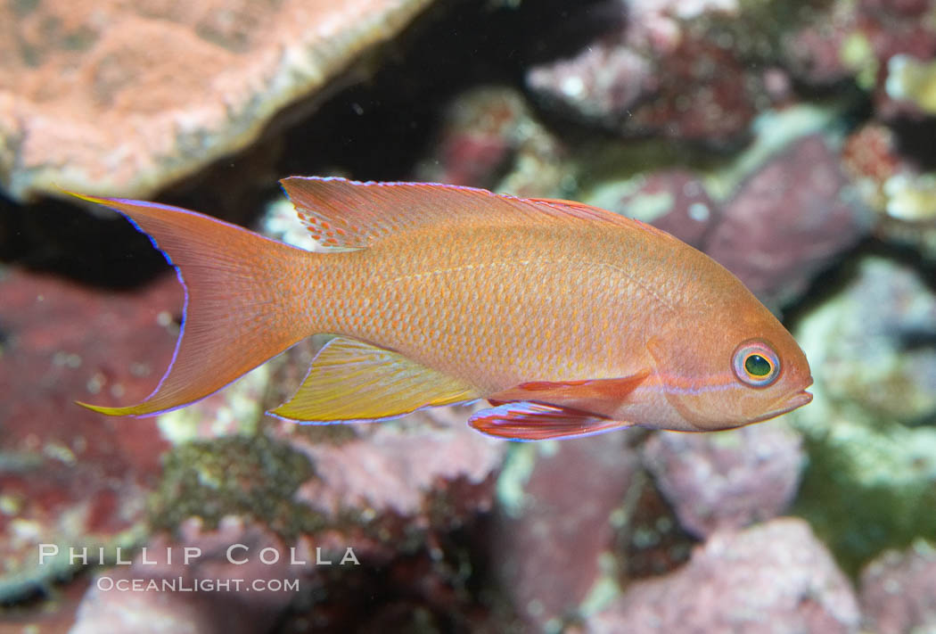 Lyretail fairy basslet, female., Pseudanthias squamipinnis, natural history stock photograph, photo id 11799