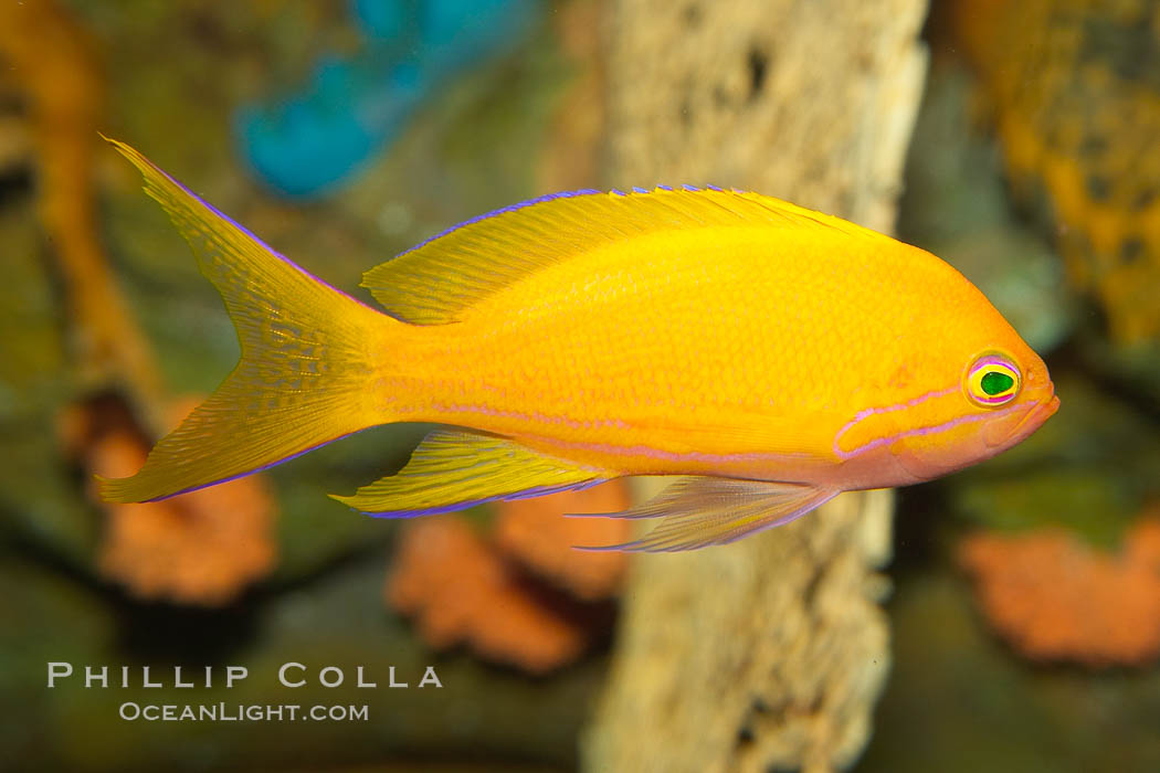 Lyretail fairy basslet, female., Pseudanthias squamipinnis, natural history stock photograph, photo id 12871