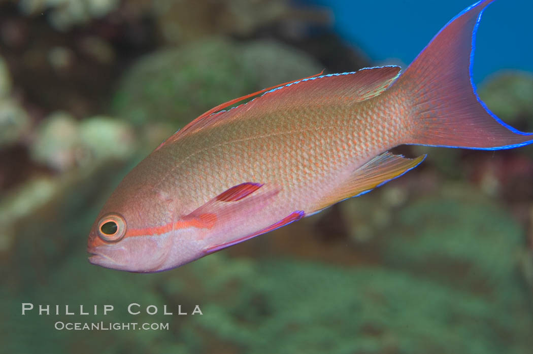 Lyretail fairy basslet, male., Pseudanthias squamipinnis, natural history stock photograph, photo id 07861