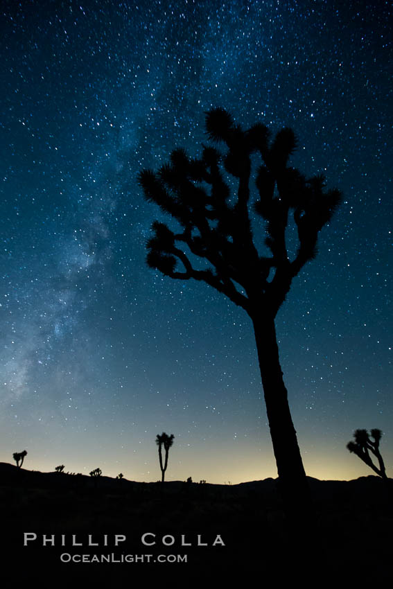 The Milky Way Galaxy shines in the night sky with a Joshua Tree silhouetted in the foreground. Joshua Tree National Park, California, USA, natural history stock photograph, photo id 27808
