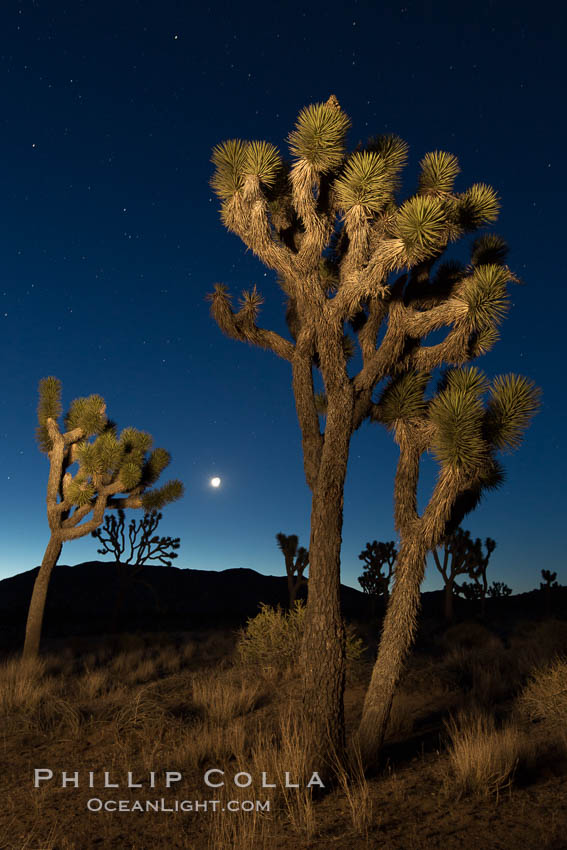Joshua tree and stars at night. The Joshua Tree is a species of yucca common in the lower Colorado desert and upper Mojave desert ecosystems. Joshua Tree National Park, California, USA, natural history stock photograph, photo id 27809