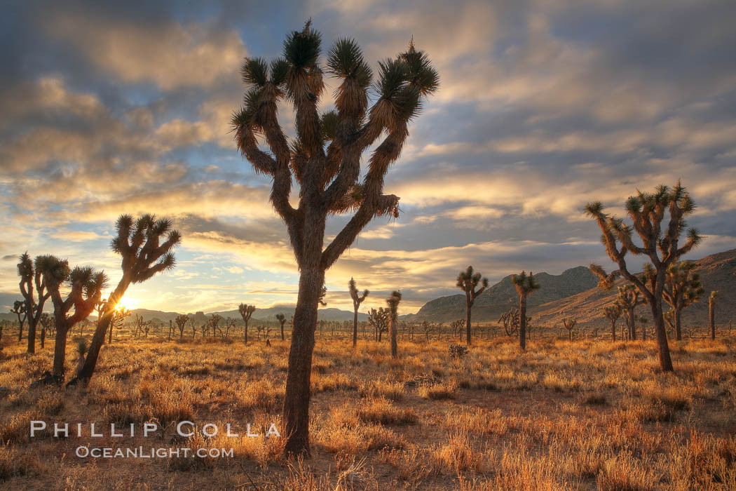 Sunrise in Joshua Tree National Park. California, USA, Yucca brevifolia, natural history stock photograph, photo id 22100