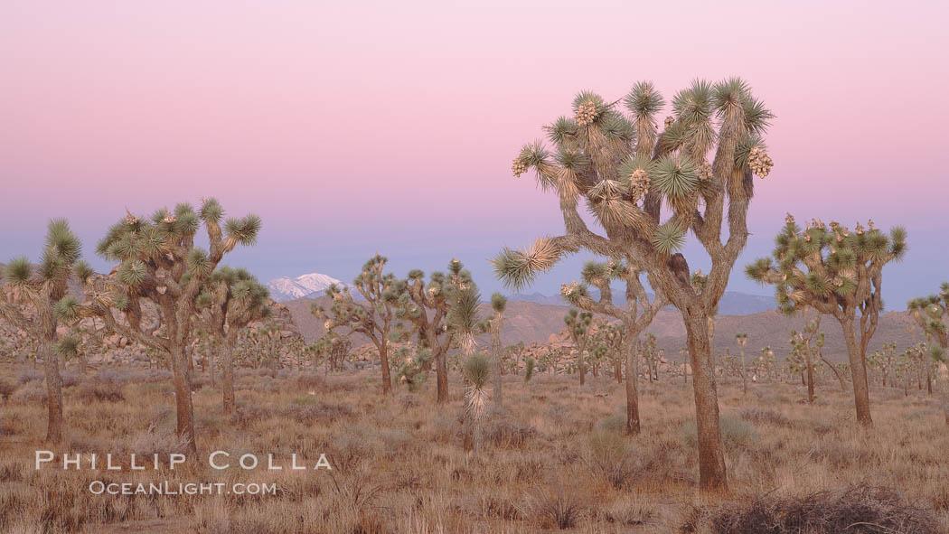 Joshua Trees in early morning light. Joshua Tree National Park, Joshua Tree National Park, California, USA, Yucca brevifolia, natural history stock photograph, photo id 22112