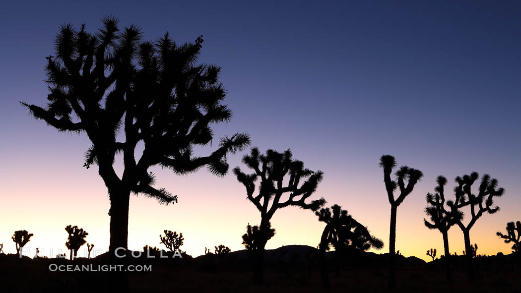 Joshua Trees silhouetted against predawn sunrise light. Joshua Tree National Park, California, USA, Yucca brevifolia, natural history stock photograph, photo id 22115