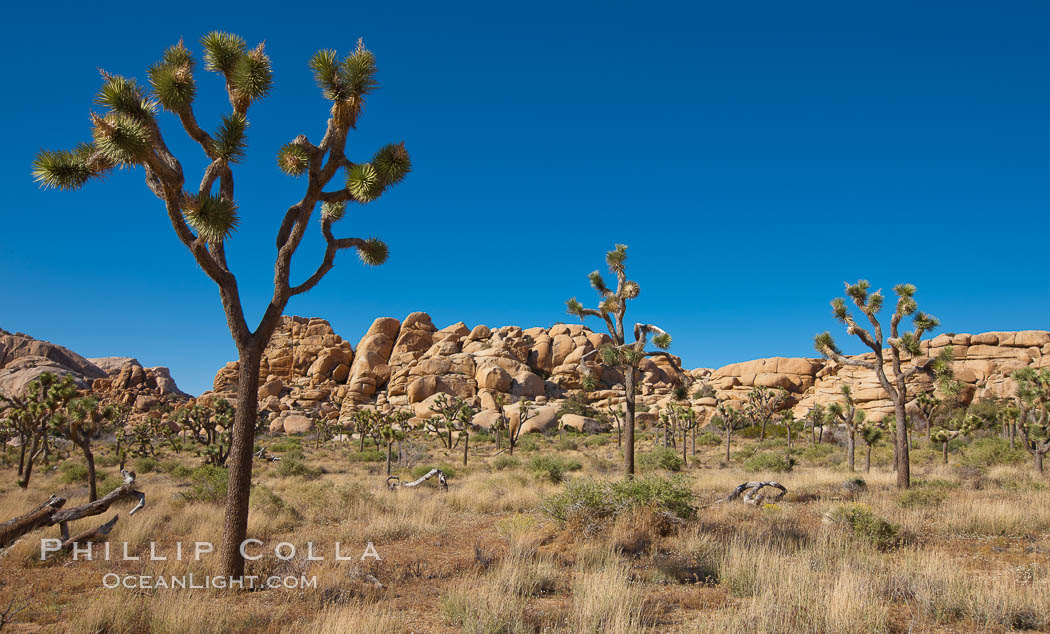 Joshua trees, a species of yucca common in the lower Colorado desert and upper Mojave desert ecosystems. Joshua Tree National Park, California, USA, Yucca brevifolia, natural history stock photograph, photo id 26747