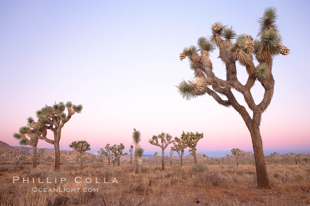 Joshua Trees in early morning light. Joshua Tree National Park, California, USA, Yucca brevifolia, natural history stock photograph, photo id 22113