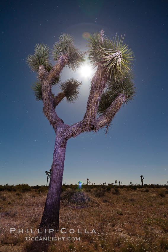 Joshua tree, moonlit night.  The Joshua Tree is a species of yucca common in the lower Colorado desert and upper Mojave desert ecosystems. Joshua Tree National Park, California, USA, Yucca brevifolia, natural history stock photograph, photo id 26778