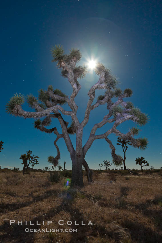 Joshua tree, moonlit night.  The Joshua Tree is a species of yucca common in the lower Colorado desert and upper Mojave desert ecosystems. Joshua Tree National Park, California, USA, Yucca brevifolia, natural history stock photograph, photo id 26721