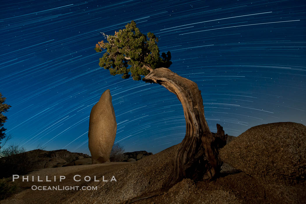Juniper and star trails. Joshua Tree National Park, California, USA, natural history stock photograph, photo id 27720