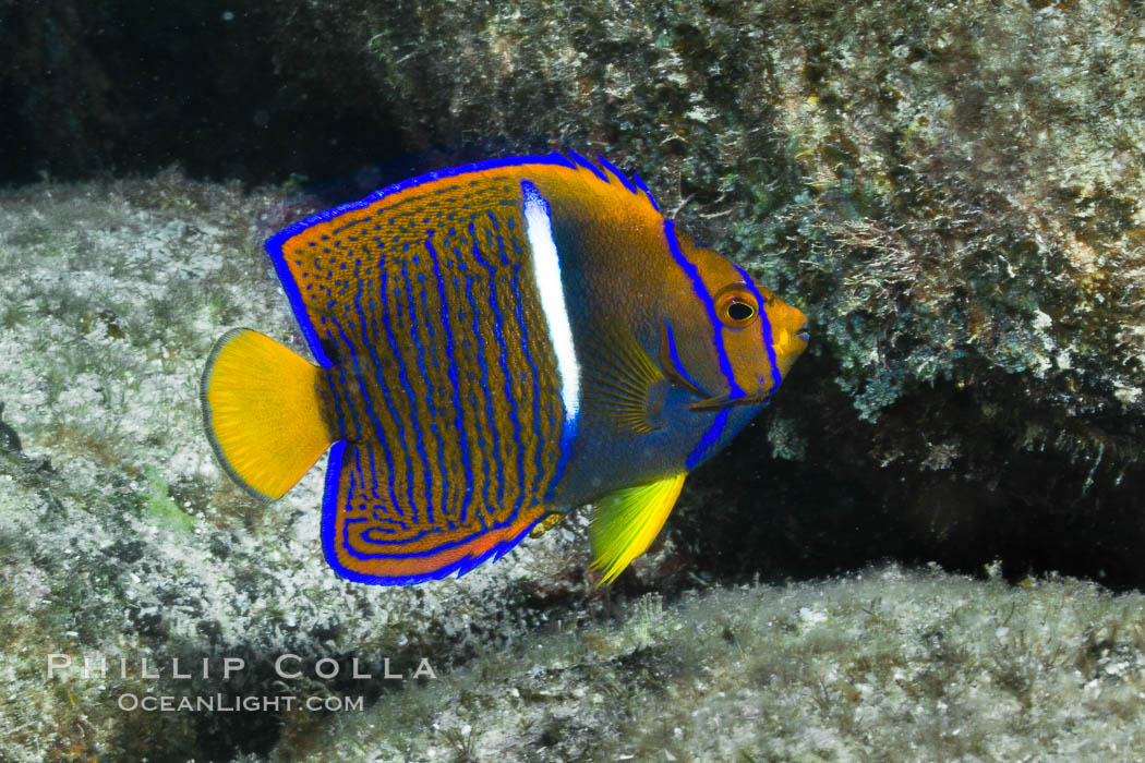 Juvenile King angelfish in the Sea of Cortez, Mexico. Sea of Cortez, Baja California, Mexico, Holacanthus passer, natural history stock photograph, photo id 27473