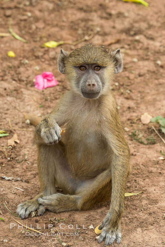 Juvenile Yellow Baboon, Amboseli National Park, Kenya., Papio cynocephalus, natural history stock photograph, photo id 29587