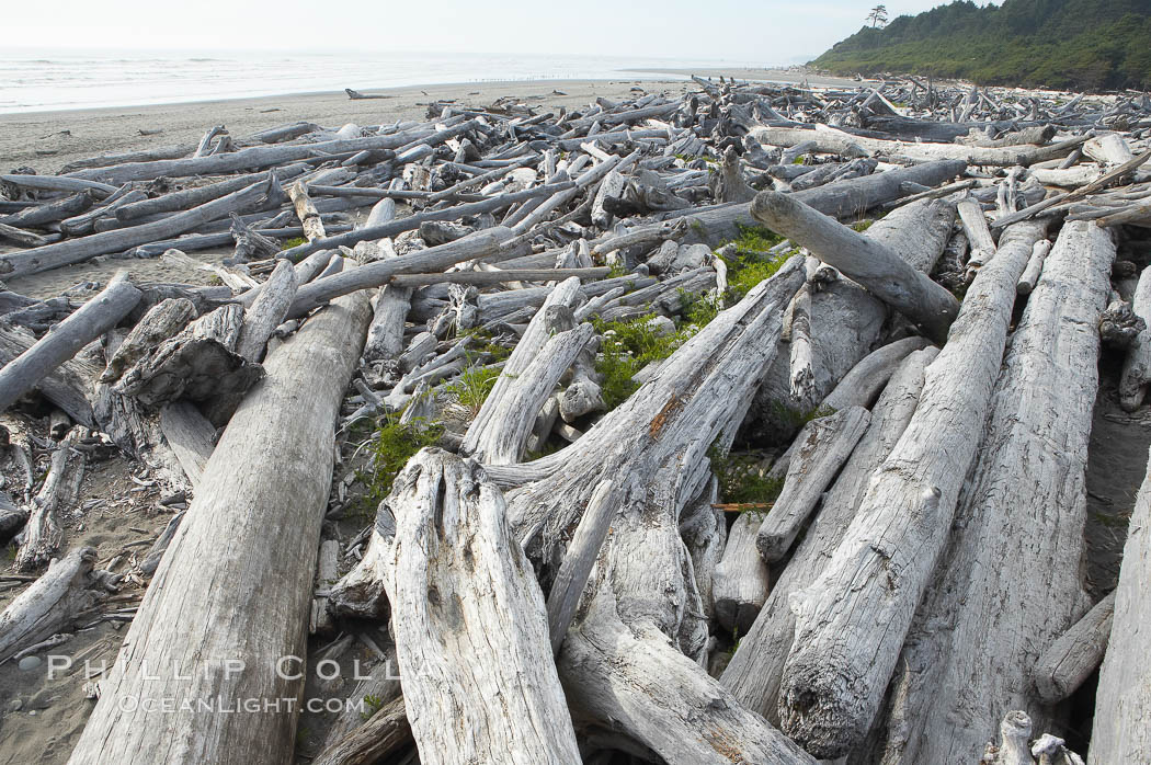 Enormous driftwood logs stack up on the wide flat sand beaches at Kalaloch. Olympic National Park, Washington, USA, natural history stock photograph, photo id 13786