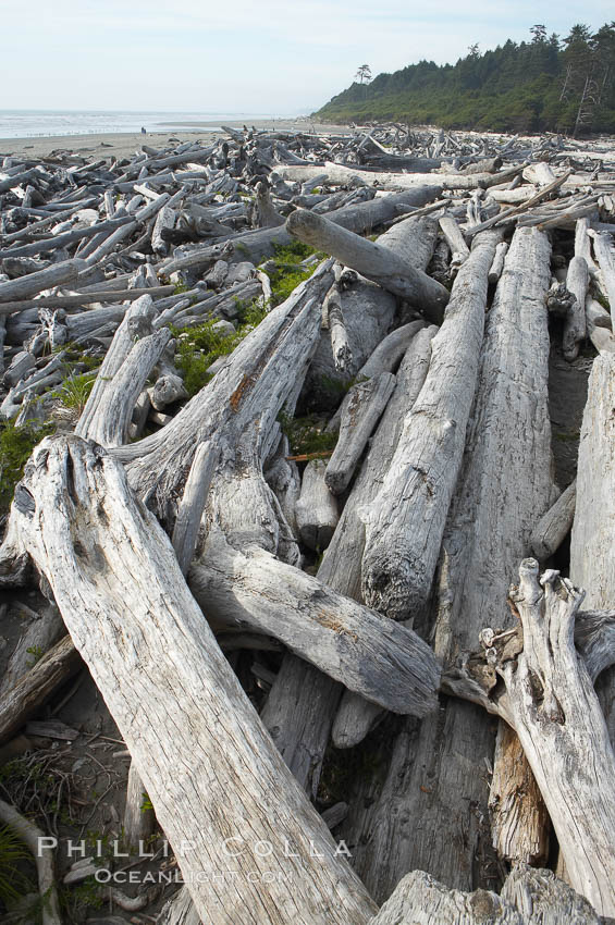 Enormous driftwood logs stack up on the wide flat sand beaches at Kalaloch. Olympic National Park, Washington, USA, natural history stock photograph, photo id 13785