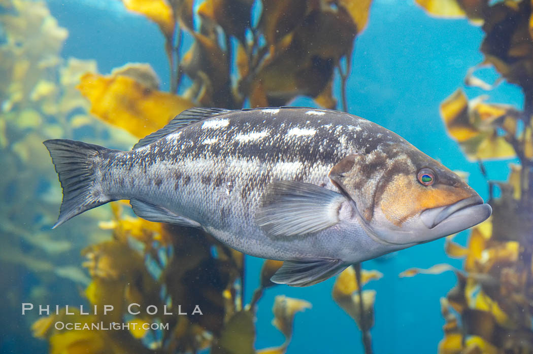 Kelp bass (calico bass) hovering amidst kelp fronds., Paralabrax clathratus, natural history stock photograph, photo id 14002