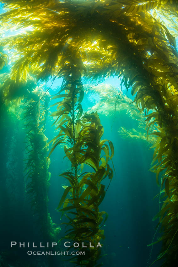 A kelp forest, with sunbeams passing through kelp fronds. Giant kelp, the fastest growing plant on Earth, reaches from the rocky bottom to the ocean's surface like a submarine forest. Catalina Island, California, USA, natural history stock photograph, photo id 34182