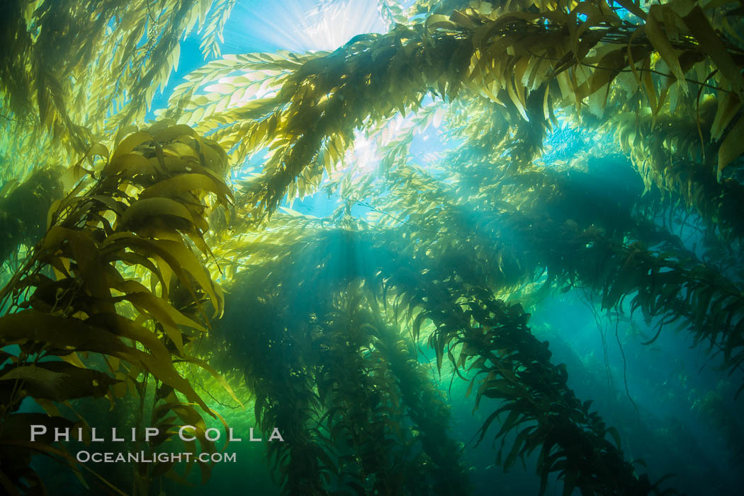 A kelp forest, with sunbeams passing through kelp fronds. Giant kelp, the fastest growing plant on Earth, reaches from the rocky bottom to the ocean's surface like a submarine forest. Catalina Island, California, USA, natural history stock photograph, photo id 34179