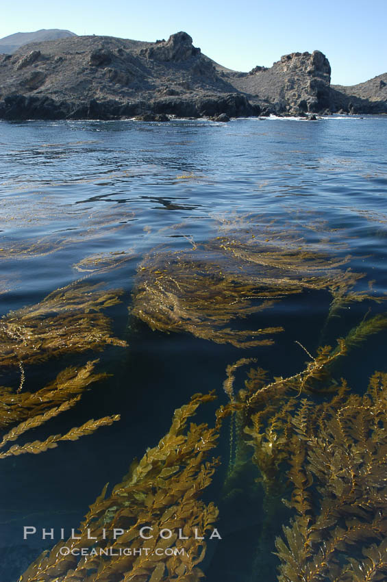 Kelp fronds grow upward from the reef below to reach the ocean surface and spread out to form a living canopy. San Clemente Island, California, USA, Macrocystis pyrifera, natural history stock photograph, photo id 07490