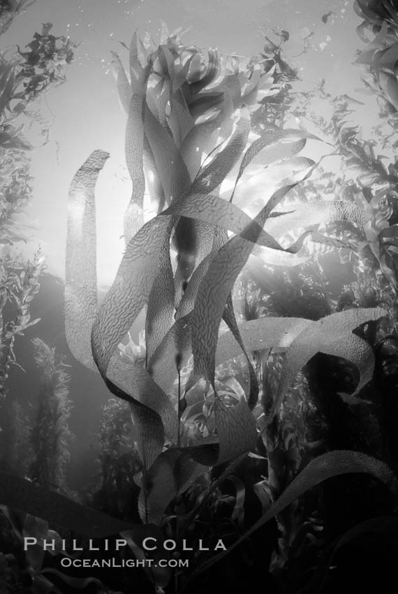 Kelp canopy. San Clemente Island, California, USA, Macrocystis pyrifera, natural history stock photograph, photo id 06119