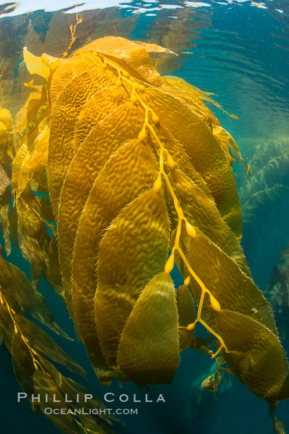 The Kelp Forest offshore of La Jolla, California. A kelp forest. Giant kelp grows rapidly, up to 2' per day, from the rocky reef on the ocean bottom to which it is anchored, toward the ocean surface where it spreads to form a thick canopy. Myriad species of fishes, mammals and invertebrates form a rich community in the kelp forest. Lush forests of kelp are found throughout California's Southern Channel Islands. La Jolla, California, USA, Macrocystis pyrifera, natural history stock photograph, photo id 30989
