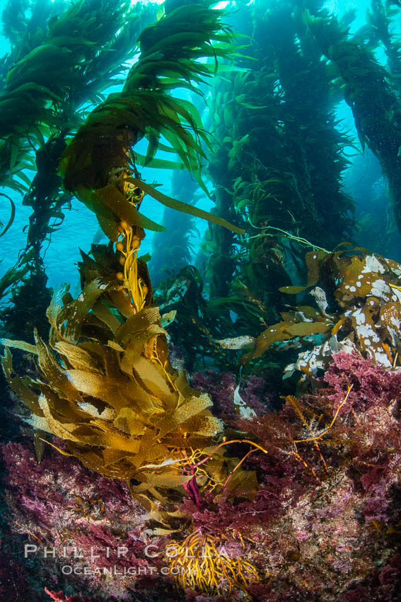 The Kelp Forest of San Clemente Island, California. A kelp forest. Giant kelp grows rapidly, up to 2' per day, from the rocky reef on the ocean bottom to which it is anchored, toward the ocean surface where it spreads to form a thick canopy. Myriad species of fishes, mammals and invertebrates form a rich community in the kelp forest. Lush forests of kelp are found throughout California's Southern Channel Islands. USA, Macrocystis pyrifera, natural history stock photograph, photo id 34611