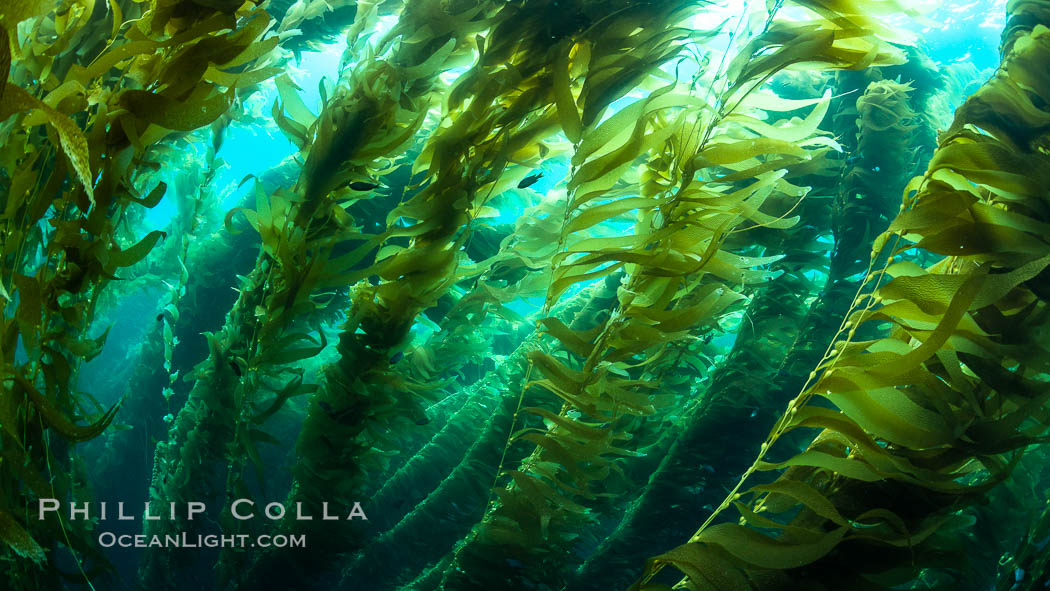 The Kelp Forest of San Clemente Island, California. A kelp forest. Giant kelp grows rapidly, up to 2' per day, from the rocky reef on the ocean bottom to which it is anchored, toward the ocean surface where it spreads to form a thick canopy. Myriad species of fishes, mammals and invertebrates form a rich community in the kelp forest. Lush forests of kelp are found throughout California's Southern Channel Islands. San Clemente Island, California, USA, Macrocystis pyrifera, natural history stock photograph, photo id 34609