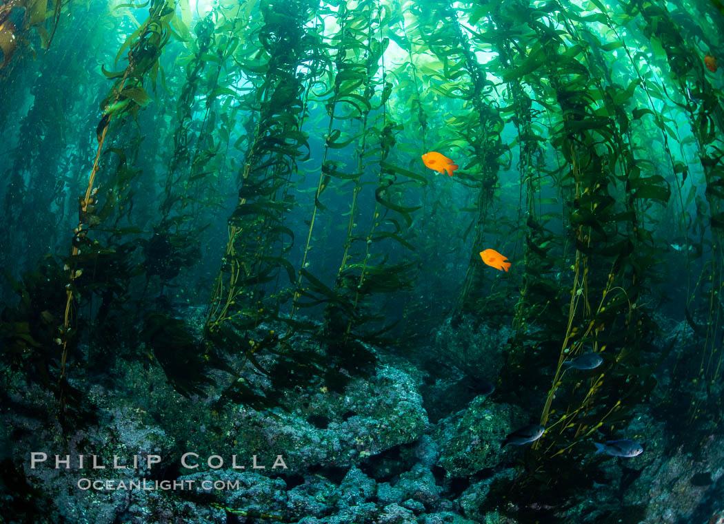 Kelp Forest, Santa Barbara Island. Santa Barbara Island, California, USA, natural history stock photograph, photo id 35829