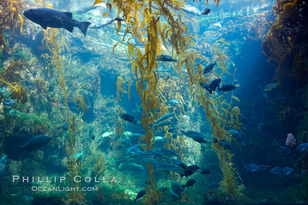 The kelp forest tank in the Stephen Birch Aquarium at the Scripps Institution of Oceanography.  The 70000 gallon tank is home to black seabass, broomtail grouper, garibaldi, moray eels and leopard sharks. La Jolla, California, USA, natural history stock photograph, photo id 14548